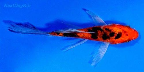aka-bekko-butterfly-koi_GF.jpg