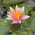 Nymphaea Little Sue (2)
