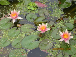 Nymphaea Little Sue (3)
