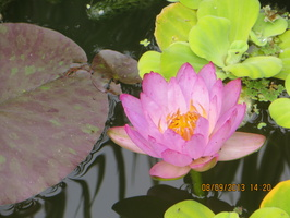 Nymphaea Siam Purple 1