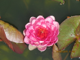 Nymphaea Siam Rose