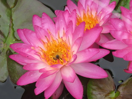 Nymphaea Siam Pink 2