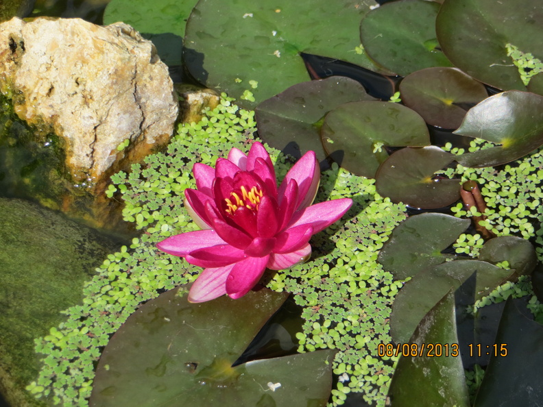 Nymphaea \'Perry\'s baby red\' 08082013.JPG
