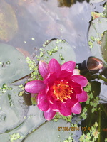 Nymphaea Perry's Baby Red 27052014
