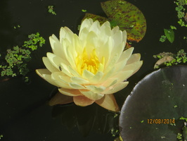Nymphaea Blushing Bride
