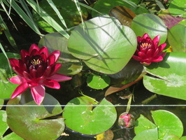 Nymphaea Black Princess