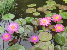 Nymphaea Siam Purple 1 & Siam Pink 2