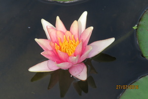 Nymphaea Little Sue