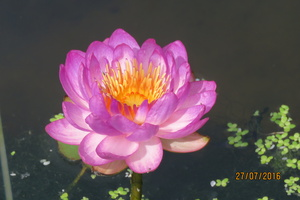 Nymphaea Queen Sirikit