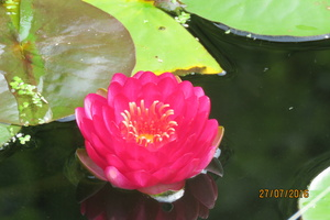 Nymphaea Manee Red