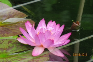 Nymphaea Siam Purple 2